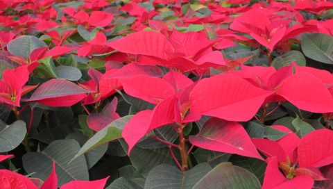 Poinsettias grown in a greenhouse