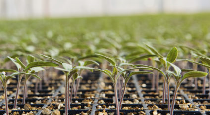 Tomato young plants growing in a seedling tray