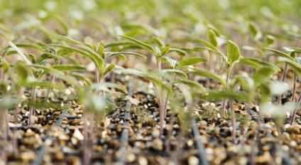 Tomato propagation seedlings
